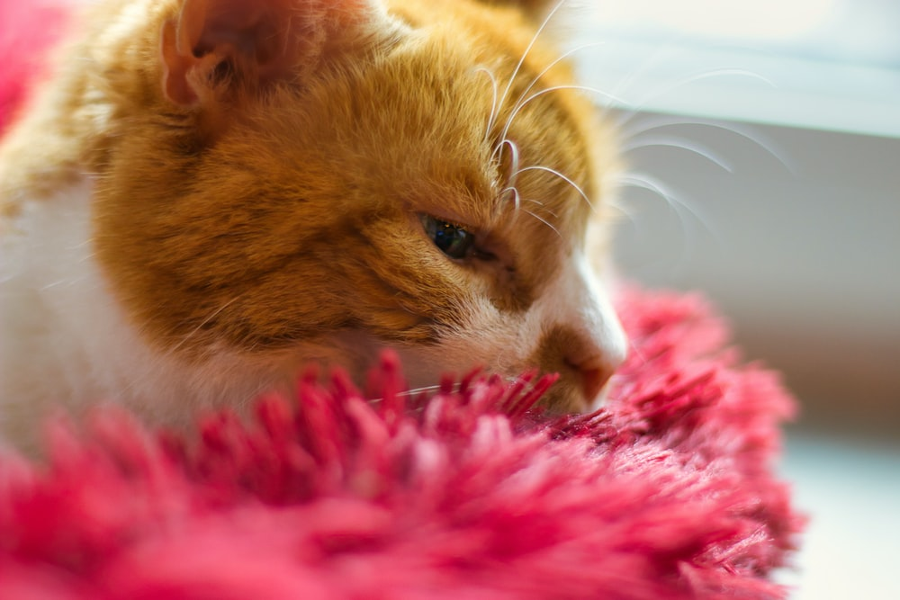orange tabby cat on pink textile