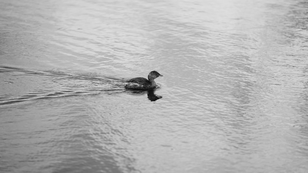 duck on water in grayscale photography