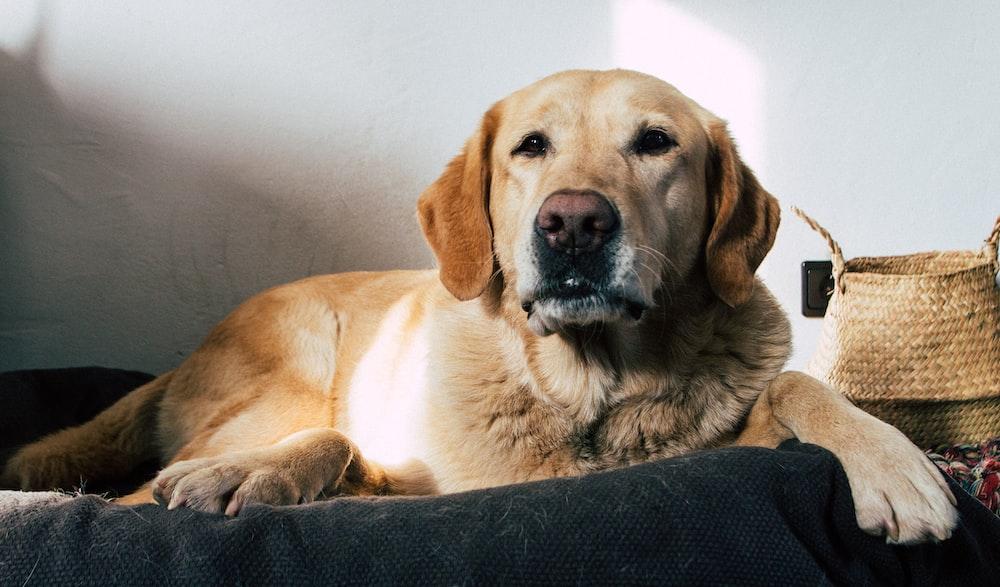 yellow labrador retriever lying on black textile