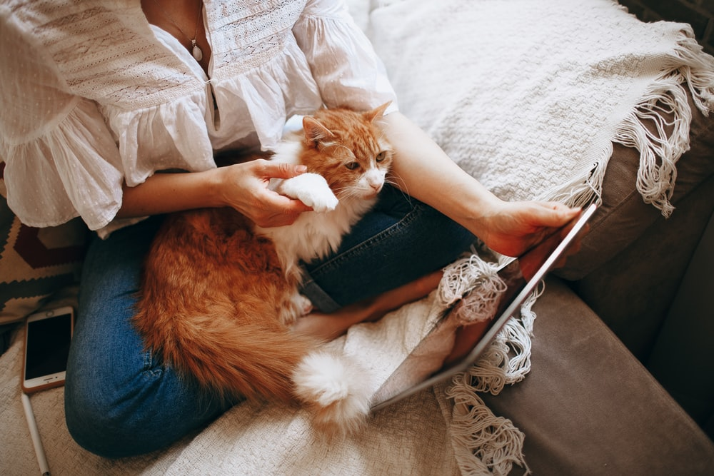 orange and white tabby cat on persons lap