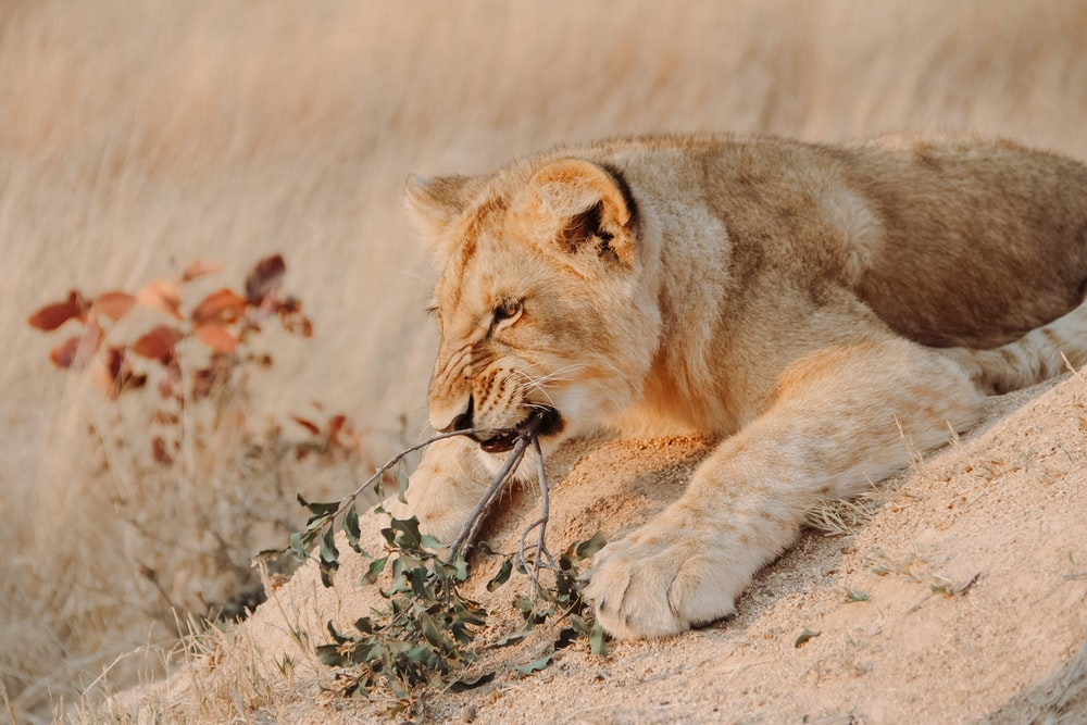 brown lioness lying on brown grass field during daytime
