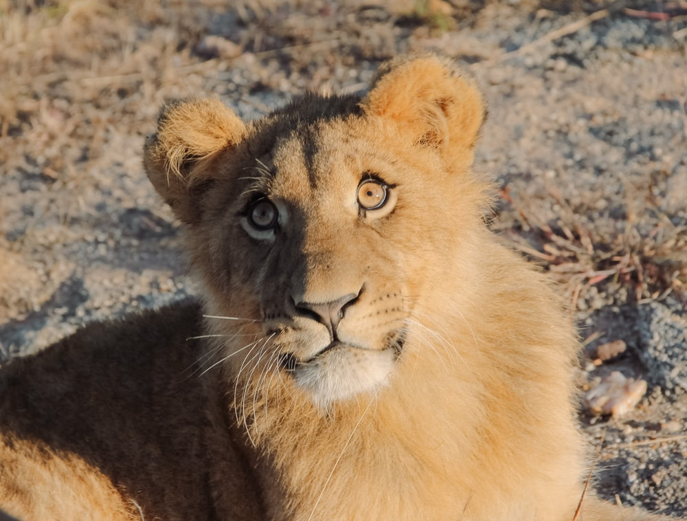 brown lion lying on ground during daytime