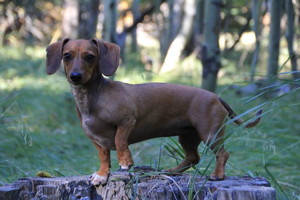 brown dachshund on green grass during daytime
