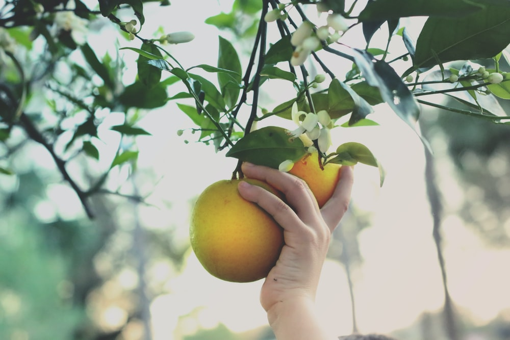 person holding yellow round fruit