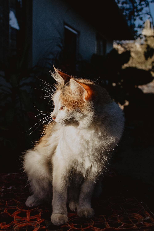 white and orange cat on black rock