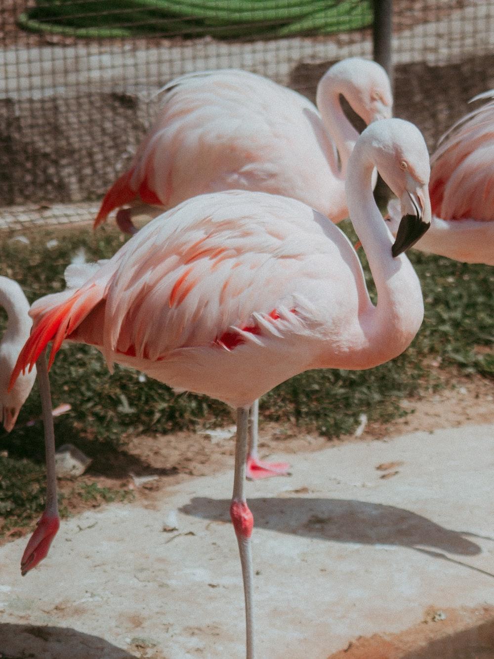 flock of flamingos on brown soil during daytime