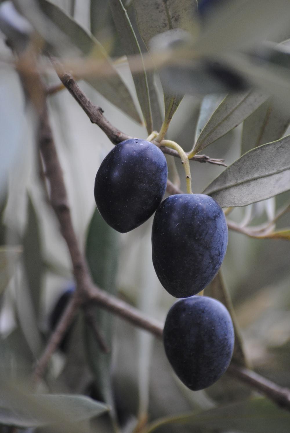 blue round fruit on tree branch