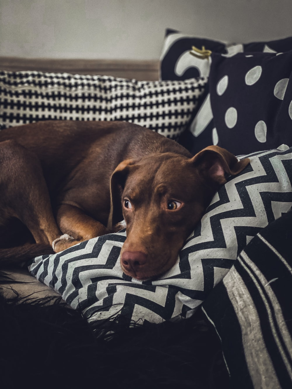 brown short coated dog lying on white and black textile