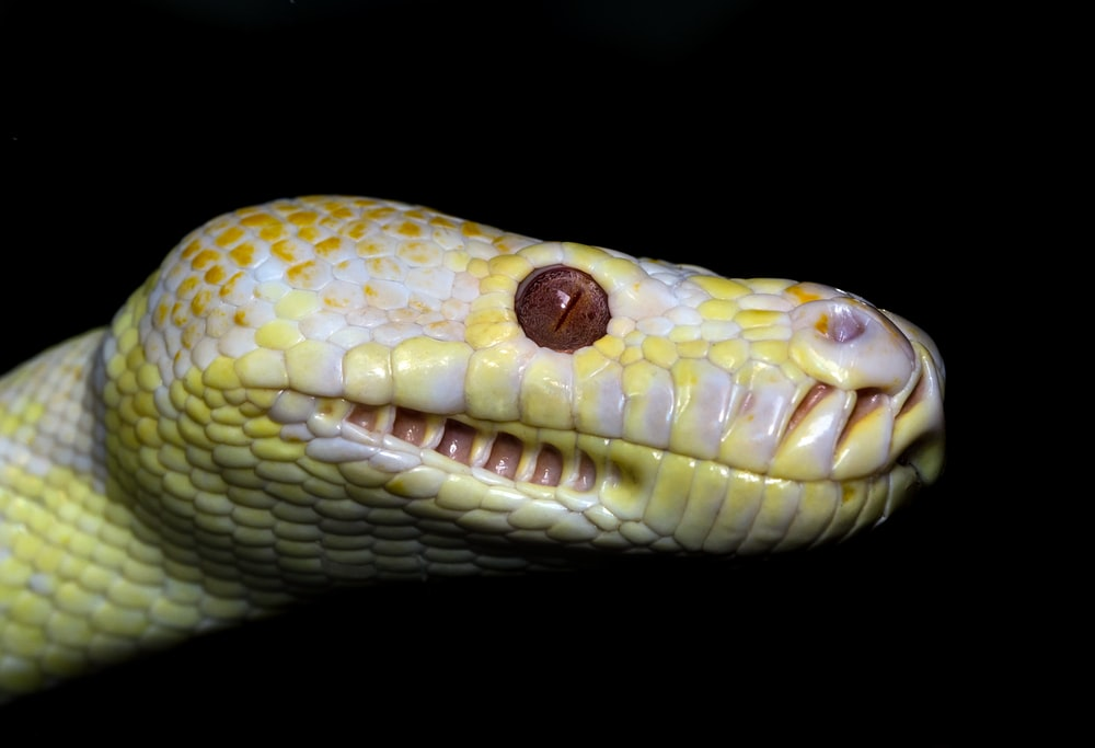 yellow and white snake on black background