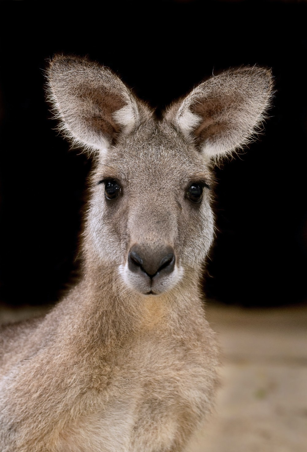 brown kangaroo in black background