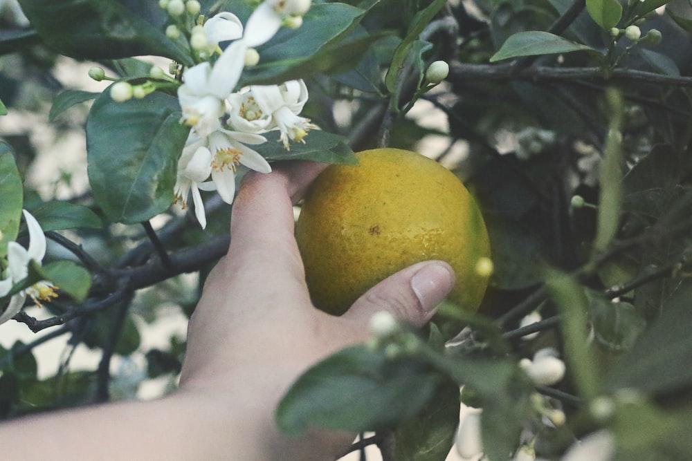 yellow lemon fruit on persons hand
