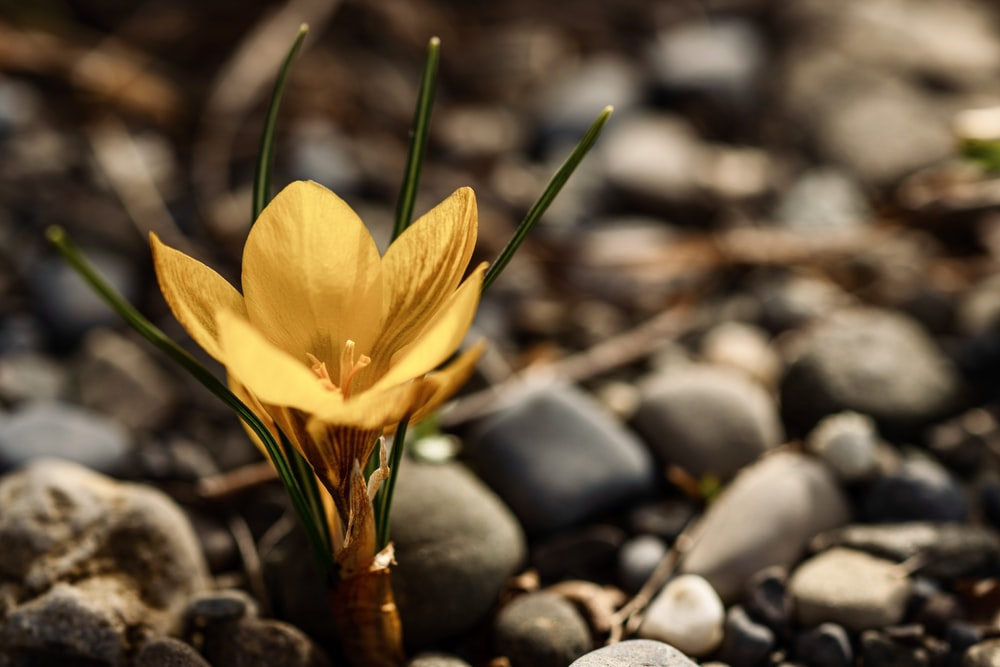 yellow flower on black and gray stones