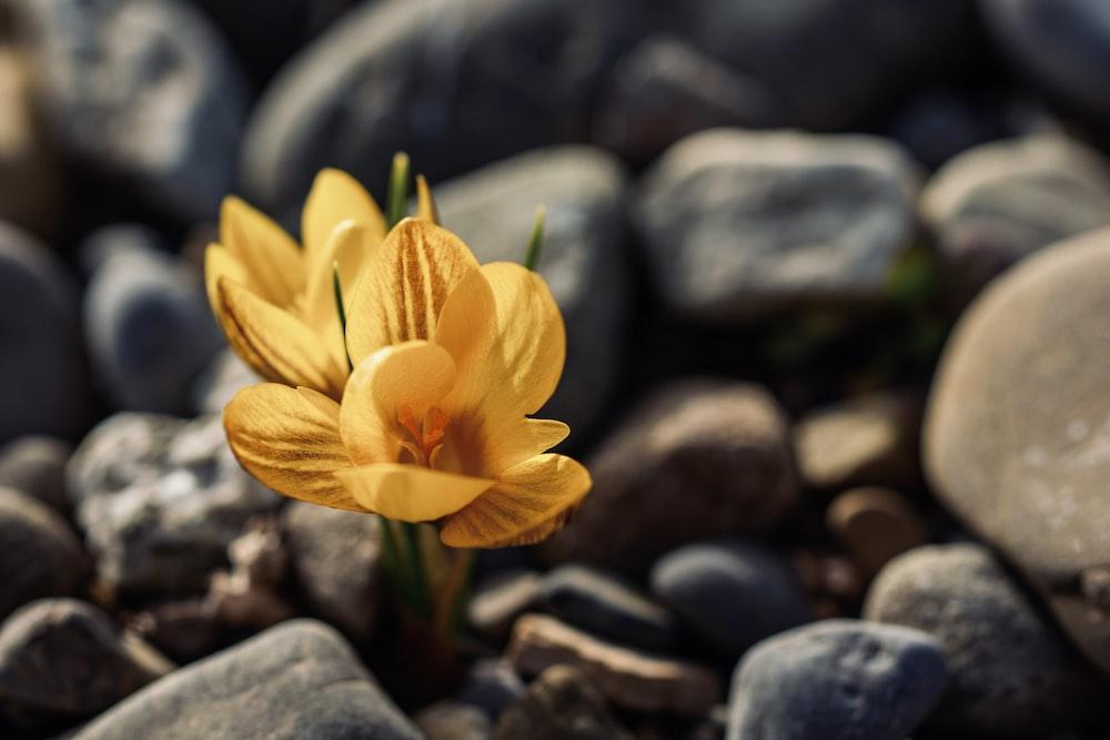 yellow flower on gray stones