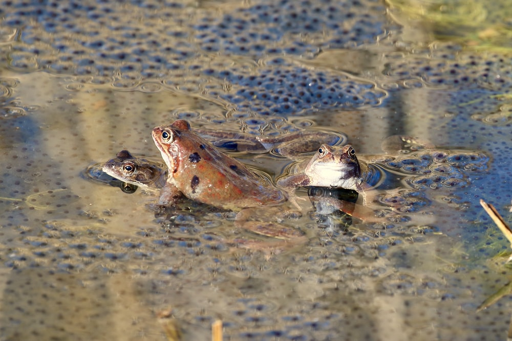 brown frog on water during daytime