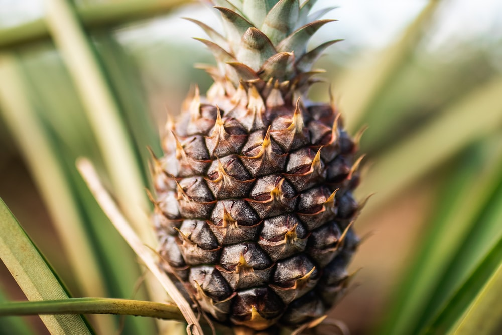 pineapple fruit in close up photography