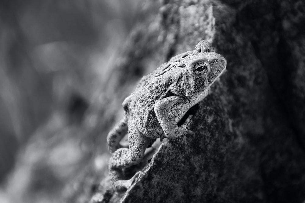 grayscale photo of frog on rock