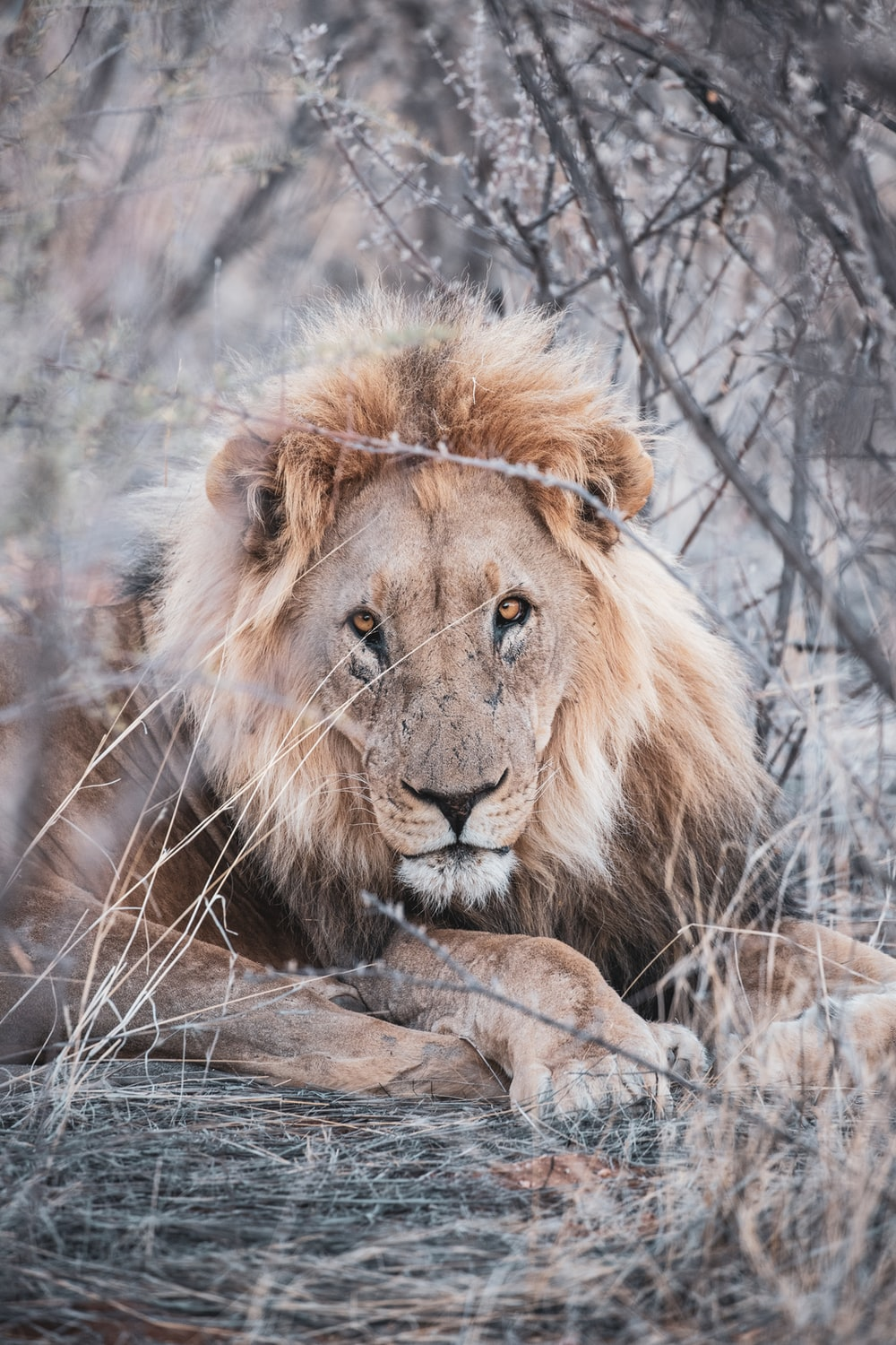 brown lion lying on brown grass during daytime