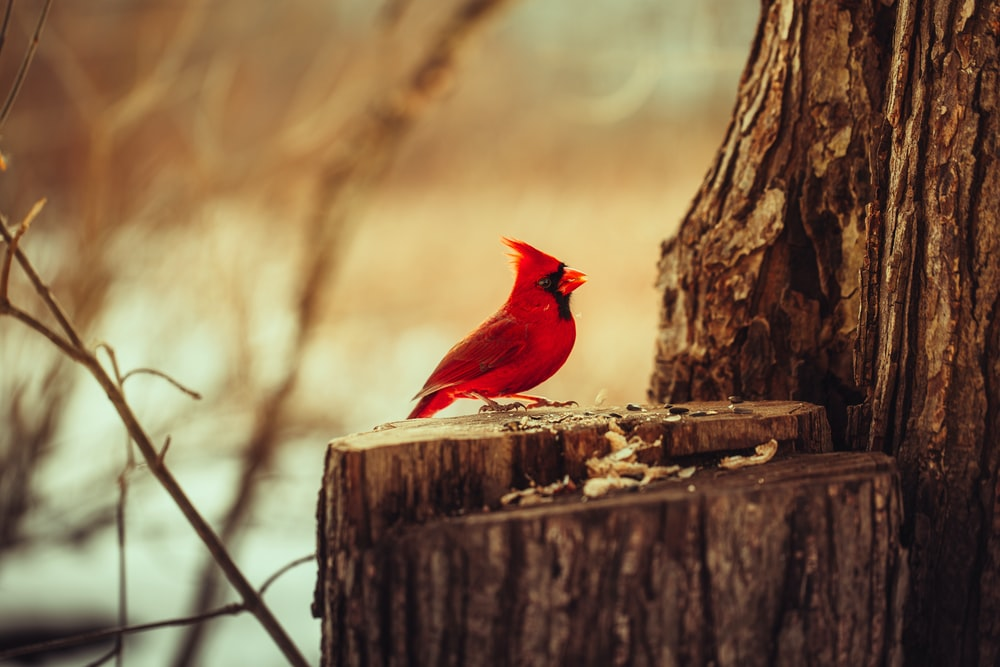 red cardinal bird on brown wooden fence during daytime