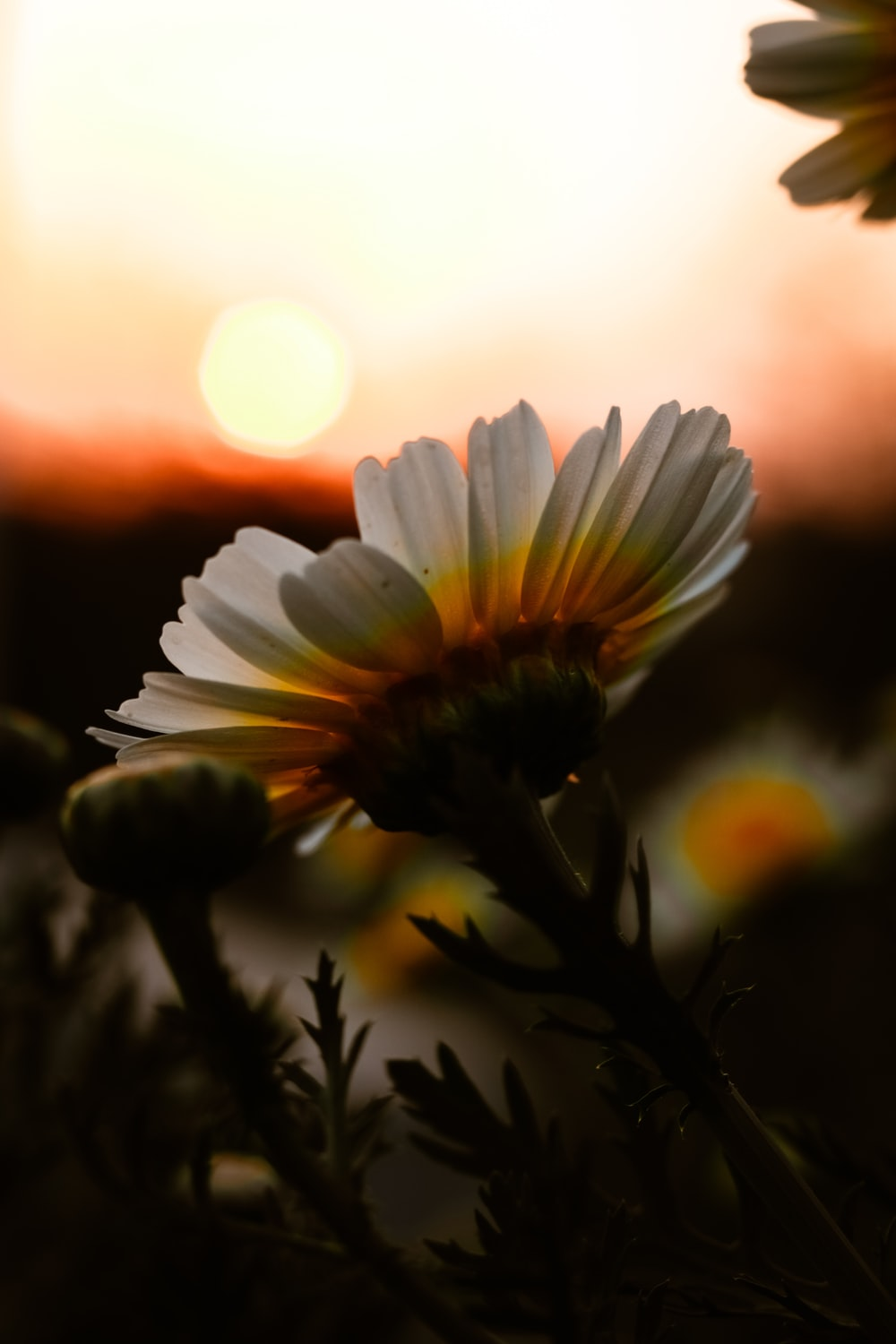 white daisy in bloom during sunset