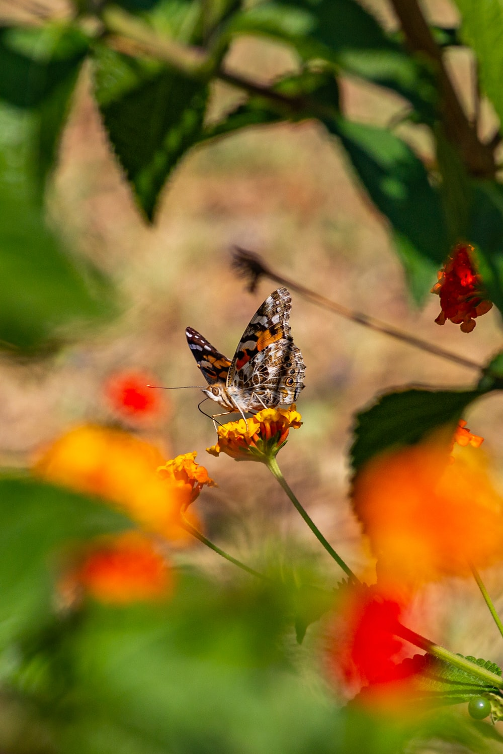 brown and black butterfly on orange flower