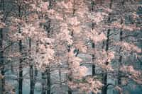 The Old Cherry Tree love stories