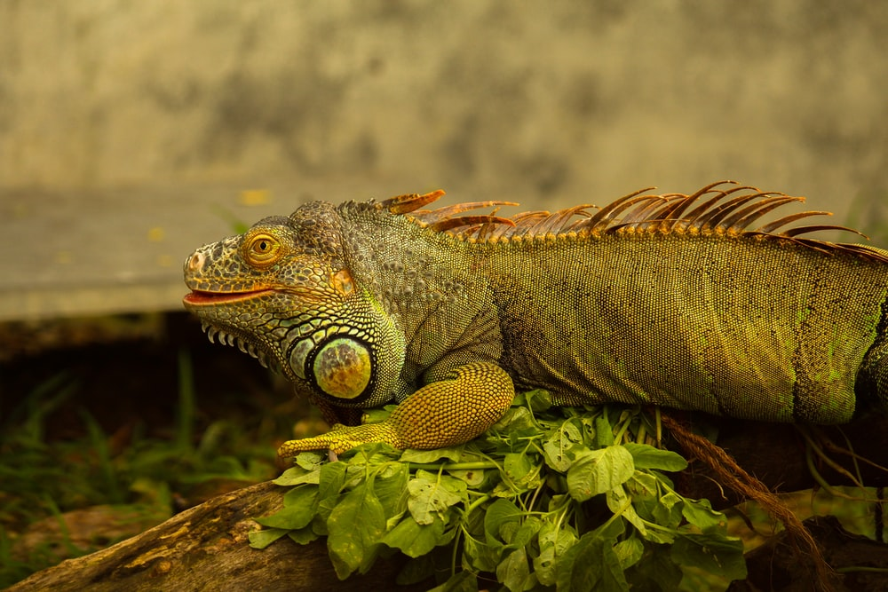 brown and gray bearded dragon on green leaves