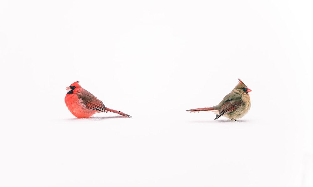 red cardinal bird on white surface