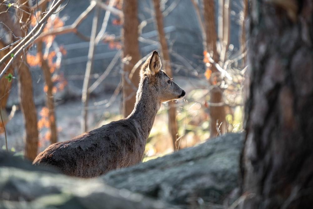 brown deer standing on gray rock during daytime