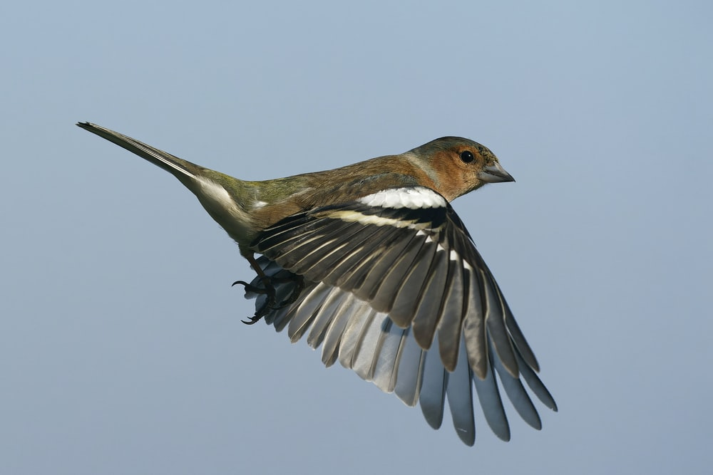 brown and white bird flying