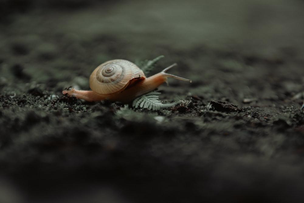 brown snail on black soil