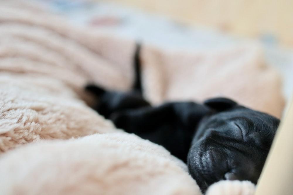 black labrador retriever puppy sleeping on white textile
