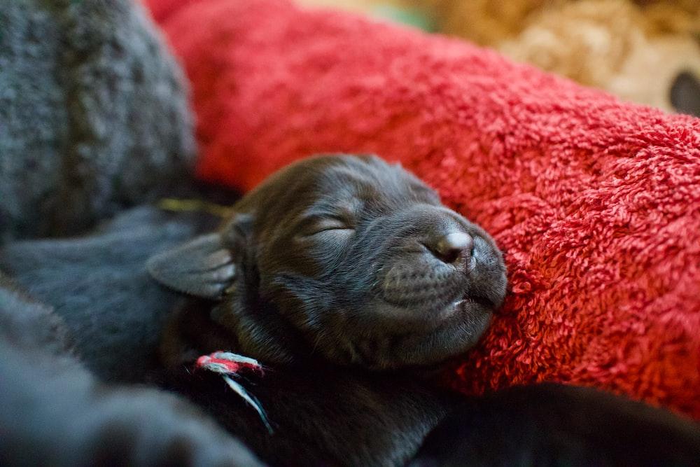 black labrador retriever puppy lying on orange textile