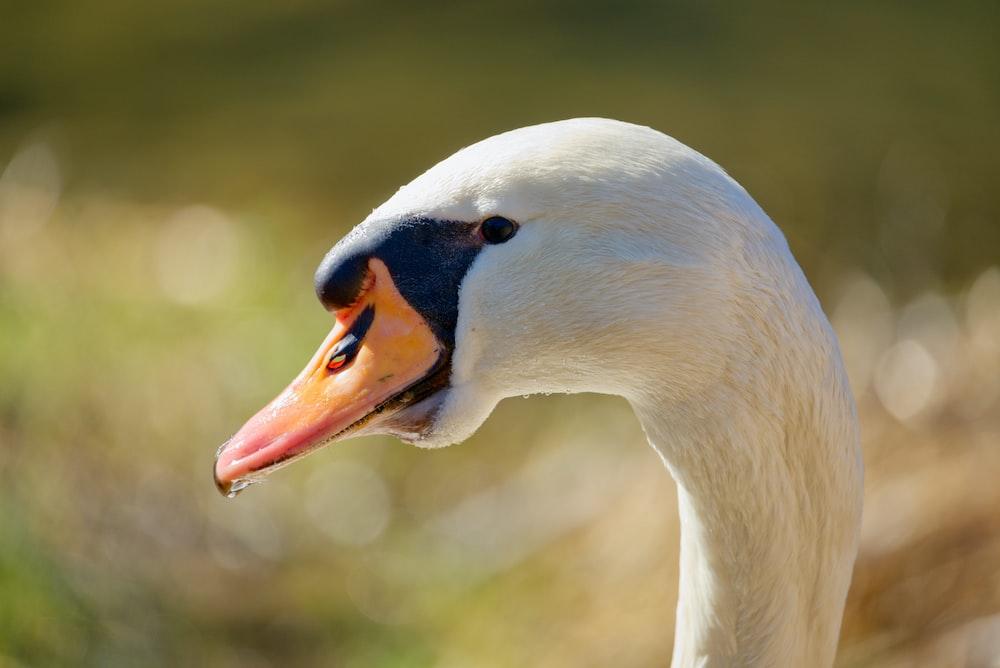 white swan in tilt shift lens