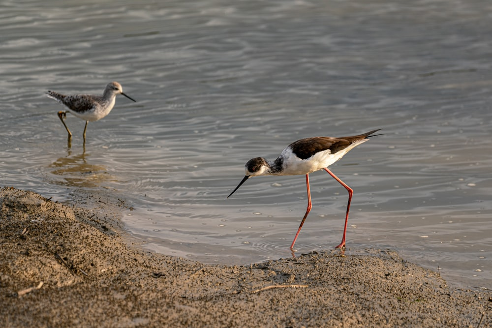 black and white bird on brown sand near body of water during daytime