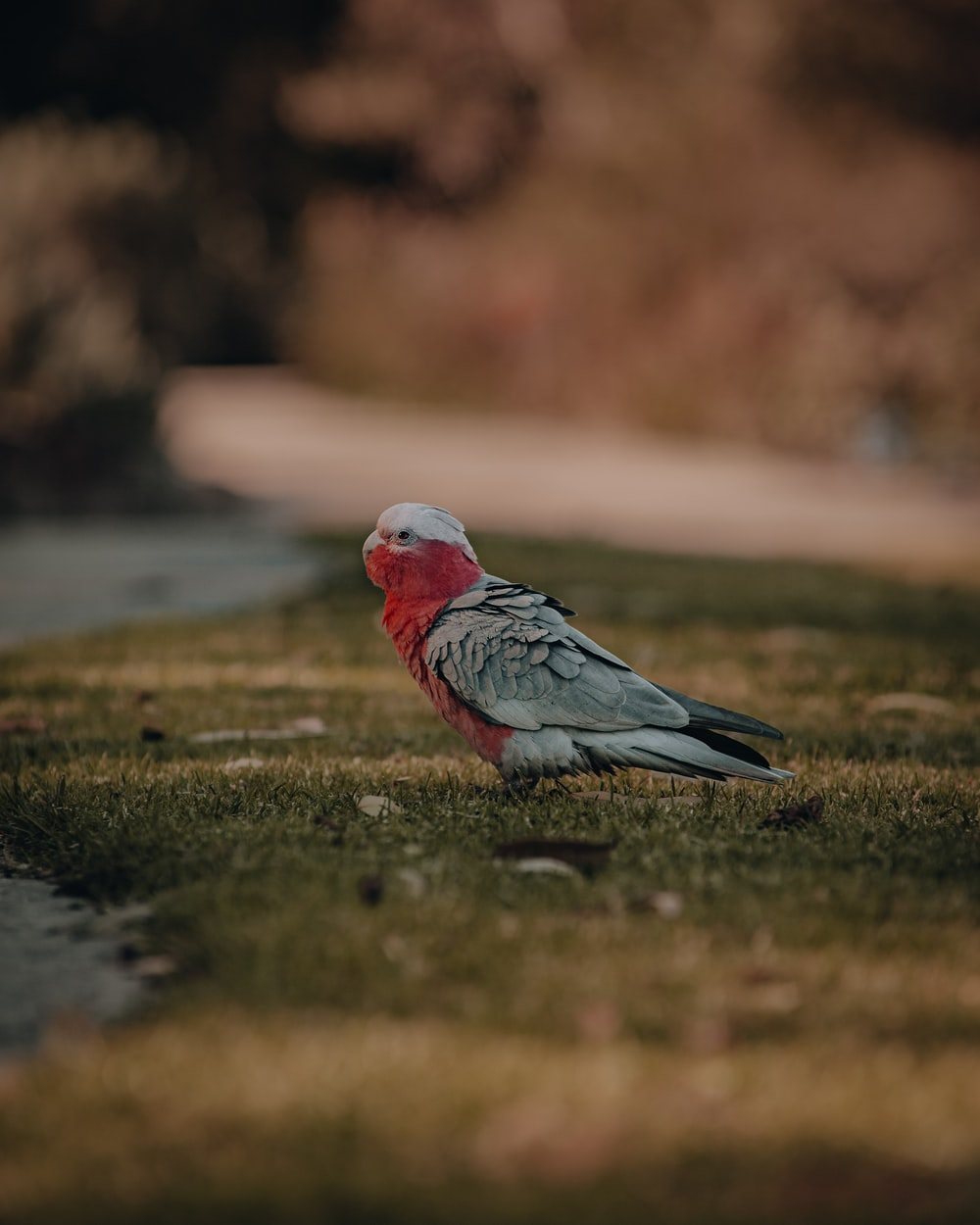 red and gray bird on green grass during daytime