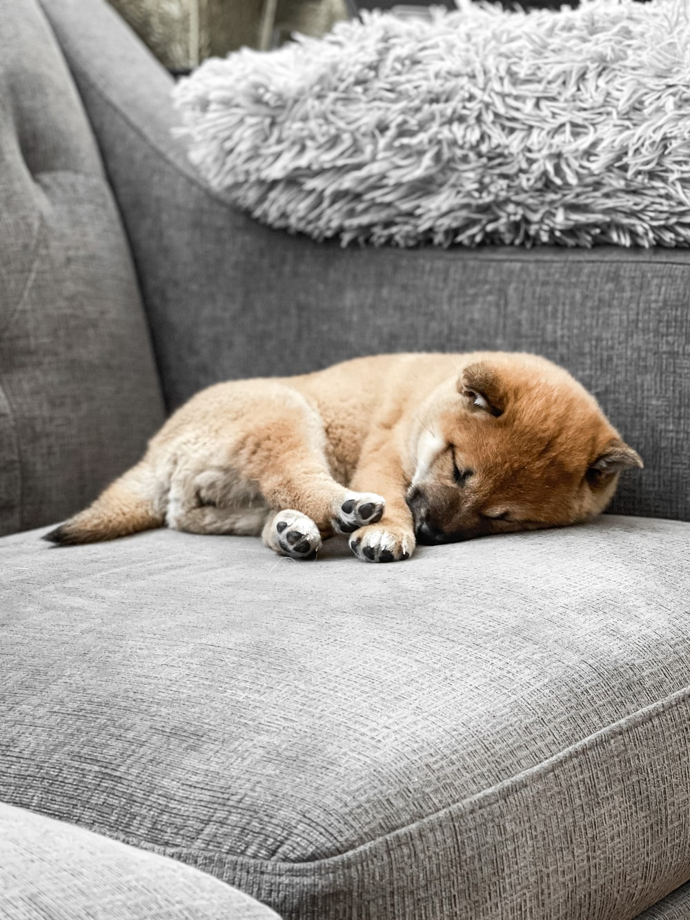 brown short coated dog lying on gray couch