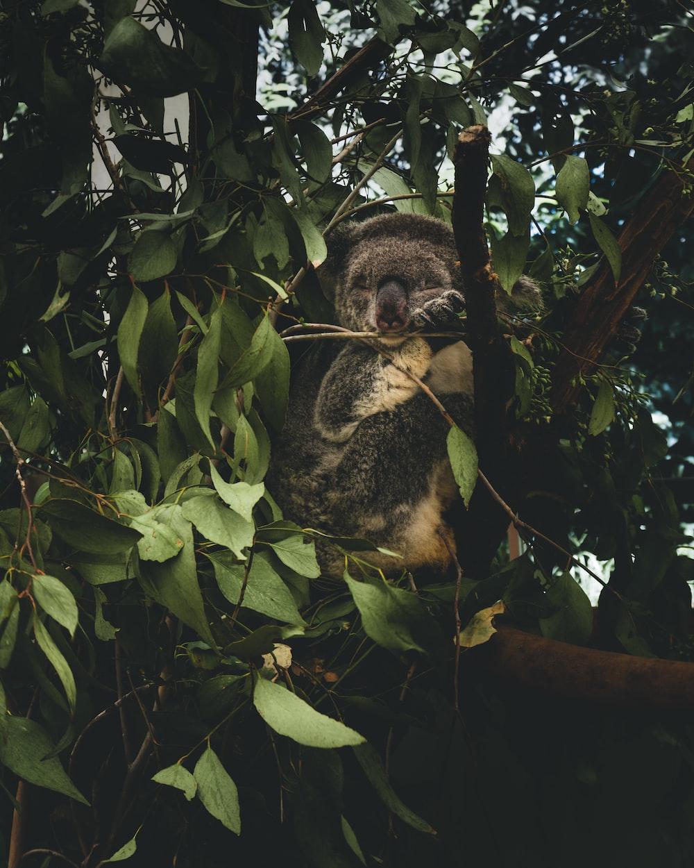 black and white koala on tree branch during daytime