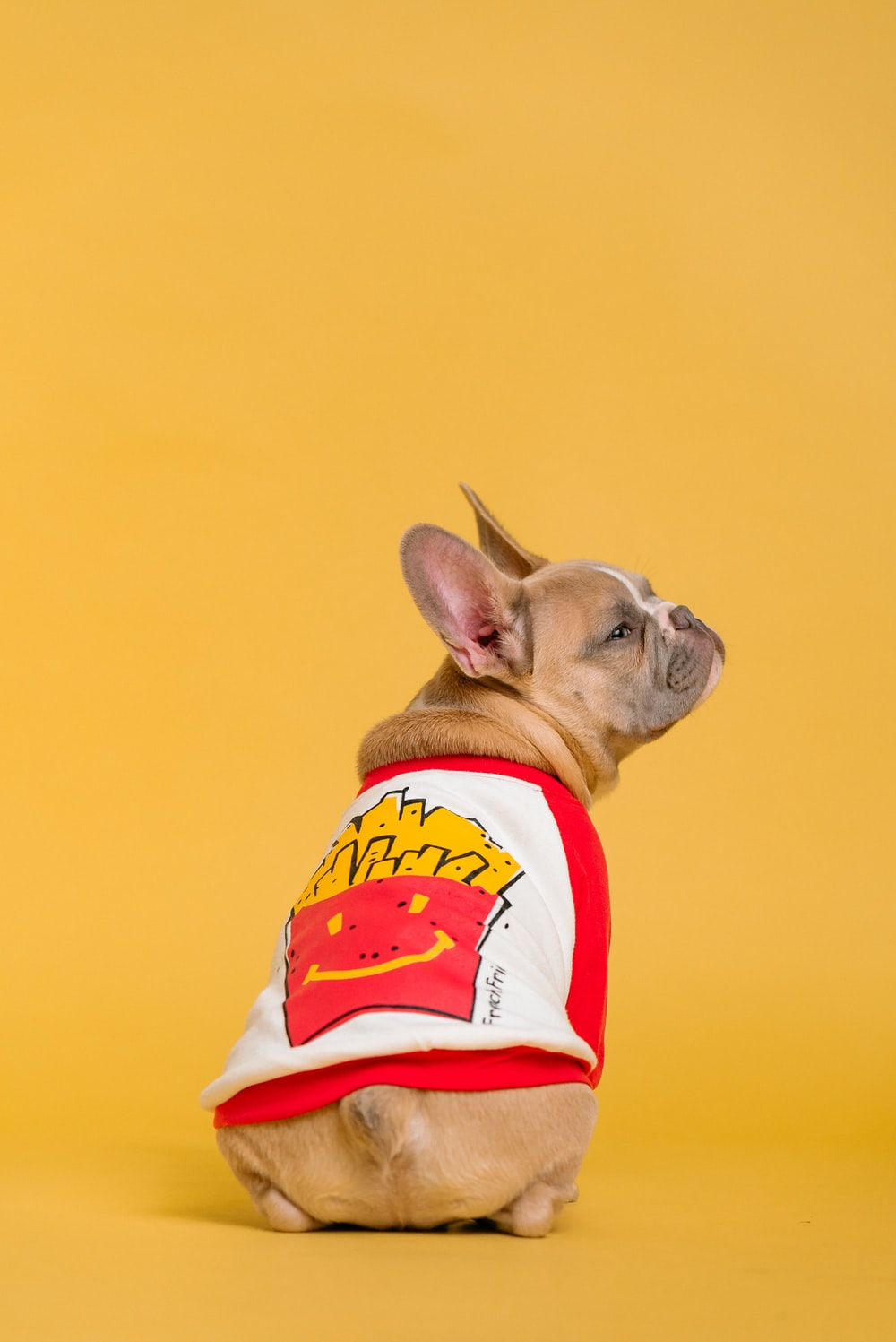brown french bulldog wearing red and white shirt