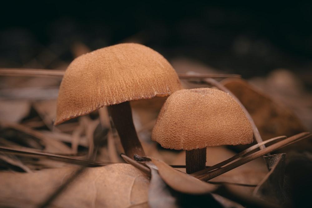 brown mushroom on brown dried leaves