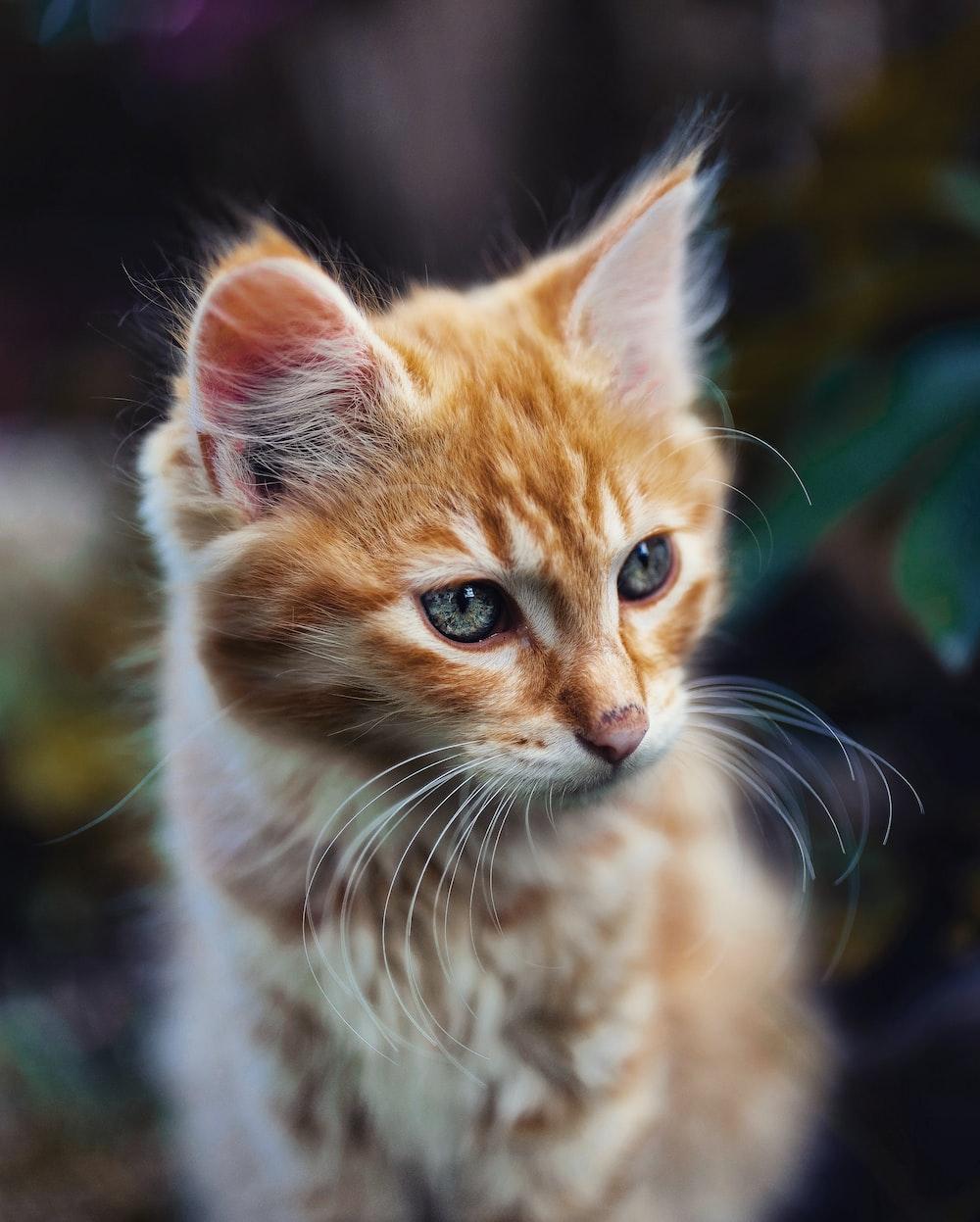 orange tabby kitten in tilt shift lens