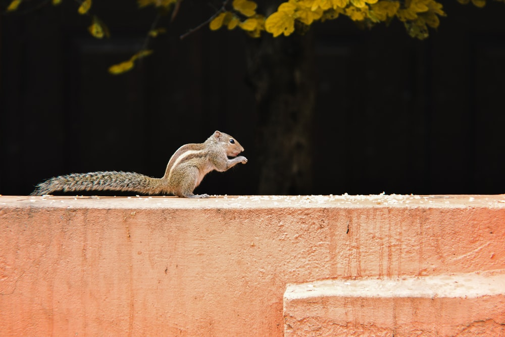 brown squirrel on brown concrete wall during daytime