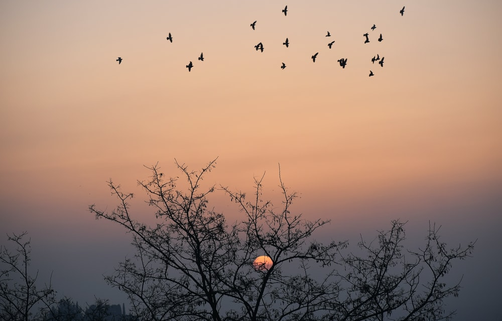 silhouette of birds flying over bare trees during sunset