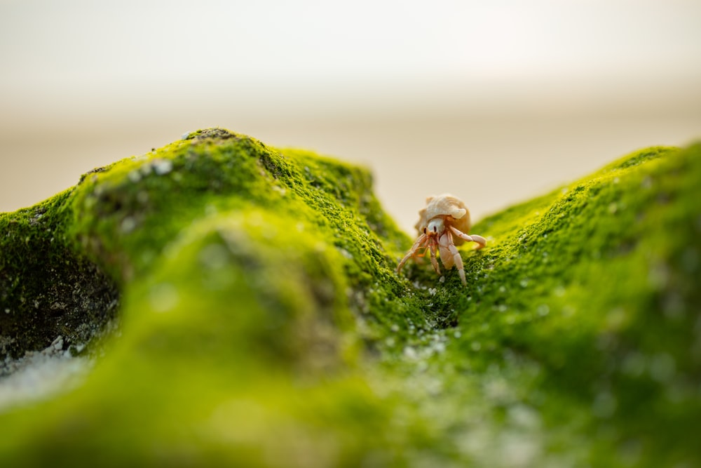 brown crab on green moss