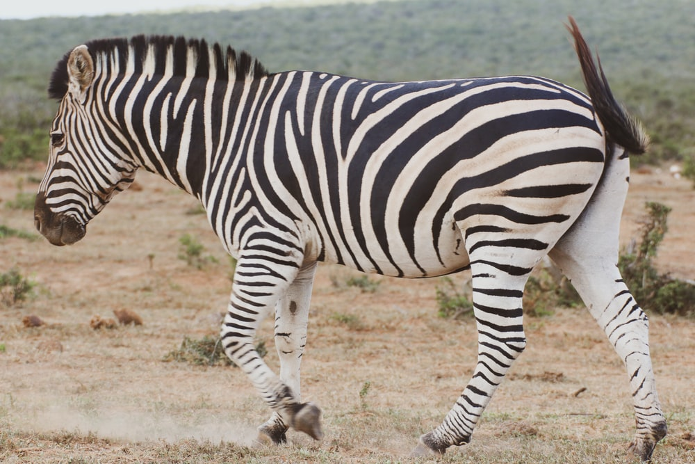 zebra standing on brown field during daytime