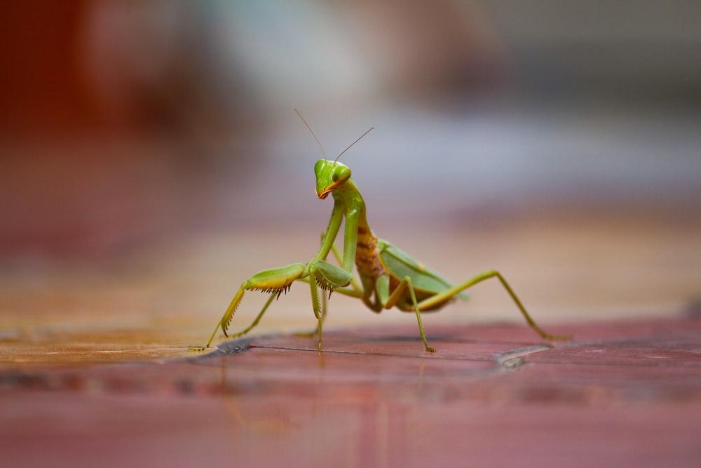 green praying mantis on brown wooden table