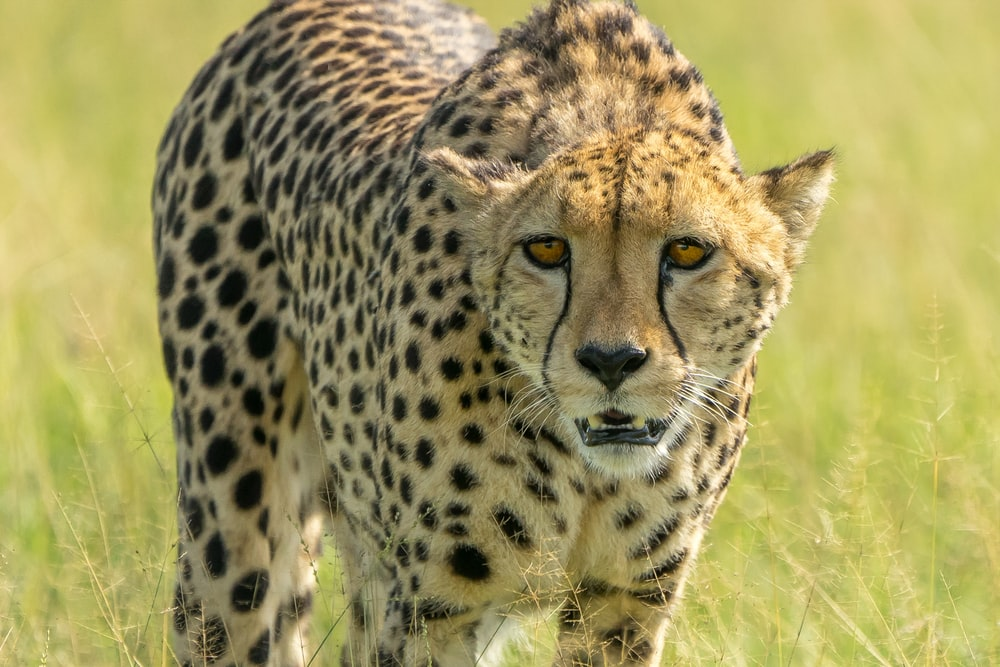 brown and black cheetah on green grass field during daytime