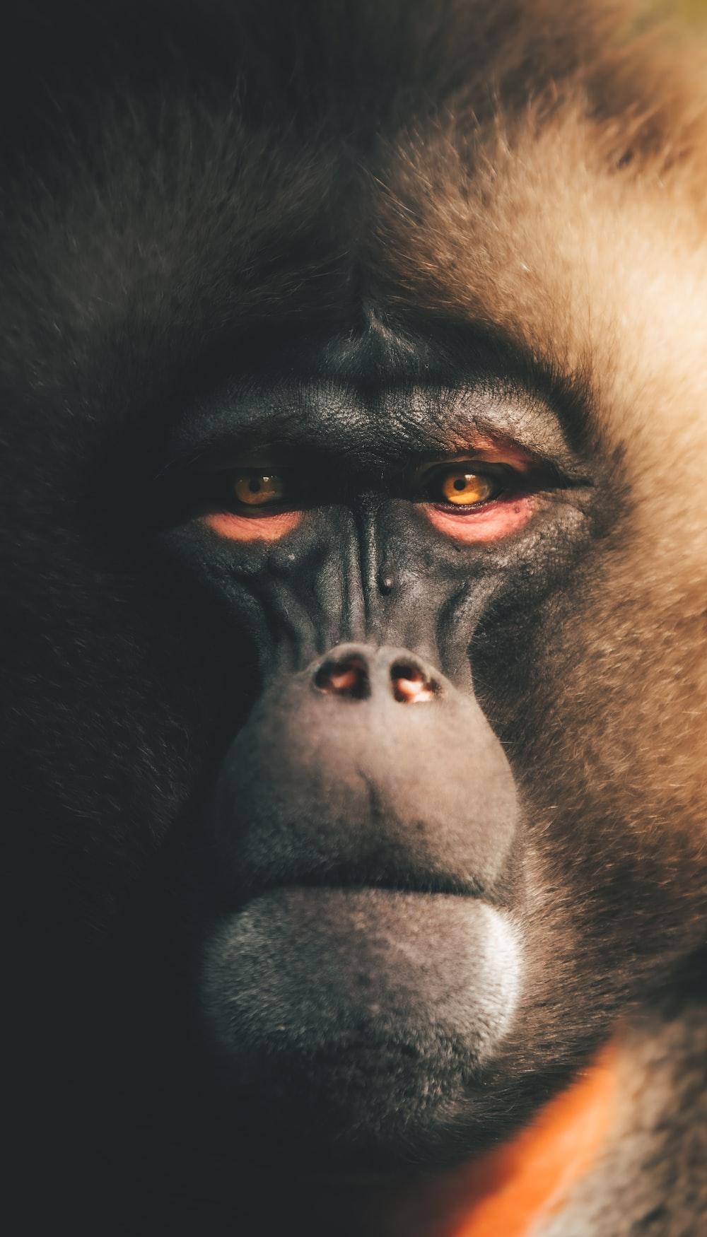 black and white gorilla face