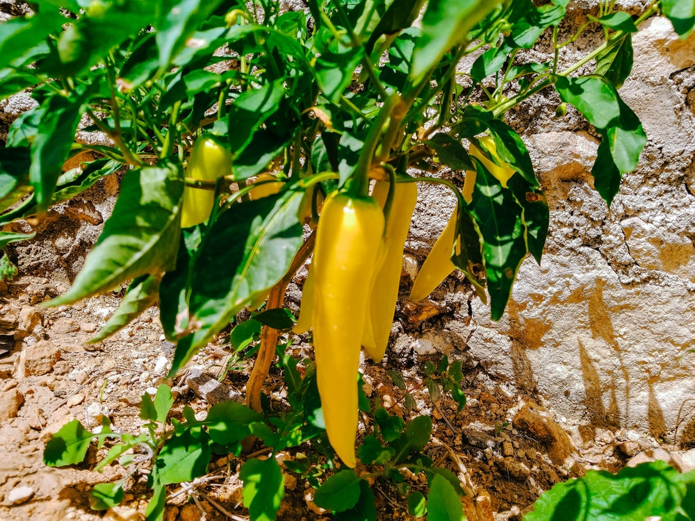 yellow bell pepper on ground