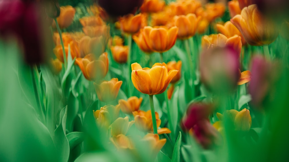 yellow and red tulips in bloom