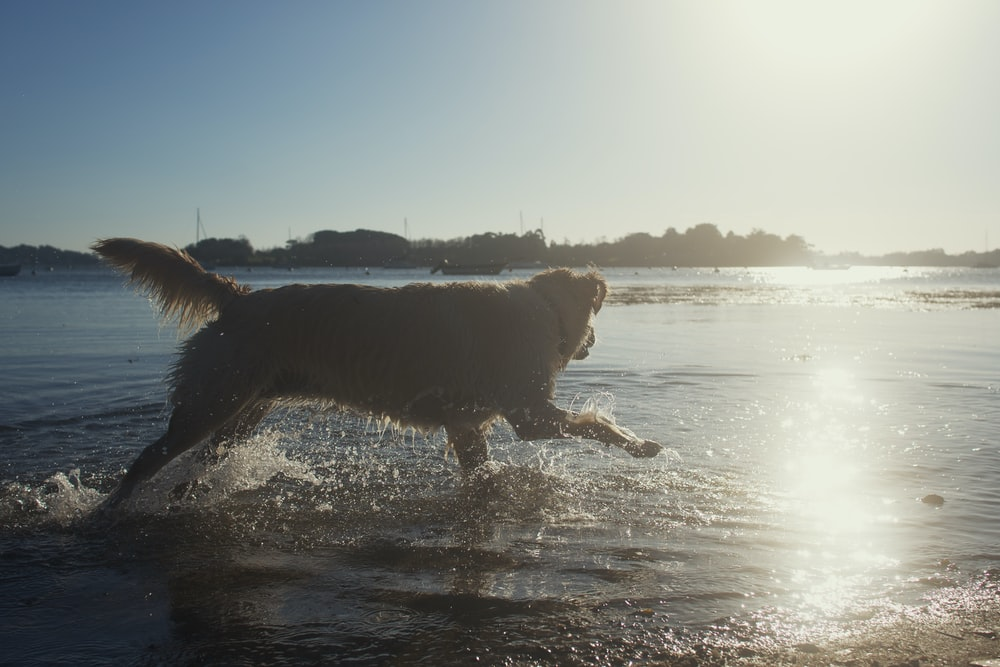 brown long coated dog on water during daytime